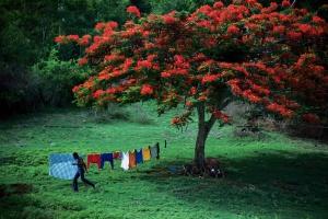 Grenada blooming tree