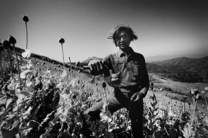 A tribesman collecting opium paste in a poppy field on the Thai-Burmese border (1982)
