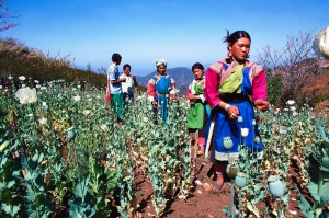 Woman in colorful tribe garb collecting opium on the Thai-Burma border