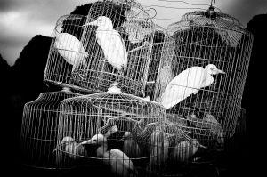 Captured wild birds in cages in North Vietnam (2004)