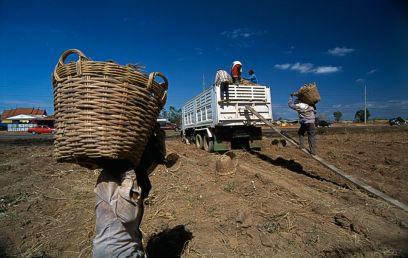 Tapioca farming (Thailand)